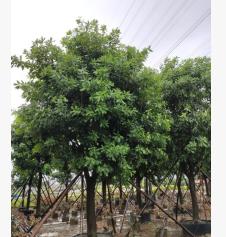 红花玉蕊24-25cm假植苗福寿花观花风景树中山基地直销
