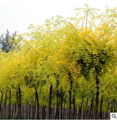能俊苗圃槐树批发 15-20-25槐树 量大优惠货源足槐树
