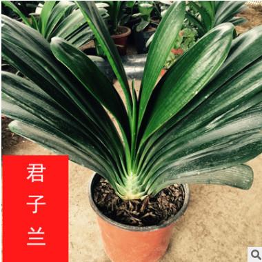 四季常绿花卉 盆景 君子兰 室内盆栽 净化空气 君子兰 小中大苗