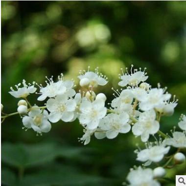 珍珠梅小苗 基地批发 工程园林绿化植物 雪梅小苗 规格齐全
