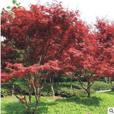厂家直销日本红枫小苗批发 行道红枫树苗 庭院绿化树 规格齐全