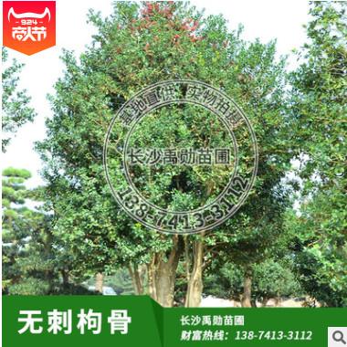 苗圃供应无刺枸骨树,有刺枸骨树,枸骨球,树形优美,价格合理。