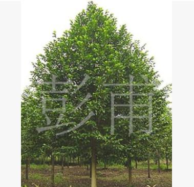 供应绿化苗木各种规格乐昌含笑含笑树景叶白兰