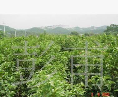 供应绿化苗木各种规格深山含笑光叶白兰