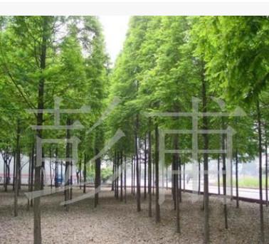 供应绿化苗木  池杉树池柏树