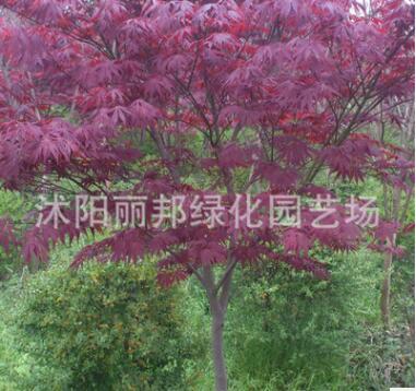 红枫树苗 日本红枫红舞姬苗 美国红枫 四季红枫苗盆栽 庭院绿化苗
