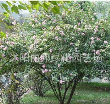 木槿树苗批发园林绿化苗木 庭院盆栽花卉木槿花苗