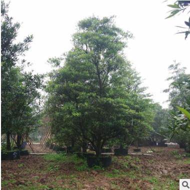 大规格常绿乔木水石榕 即可孤植又可例植