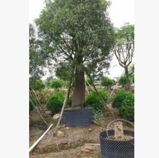 苗圃直销佛肚树 庭院大型观叶造型植物澳洲瓶子树专车发货