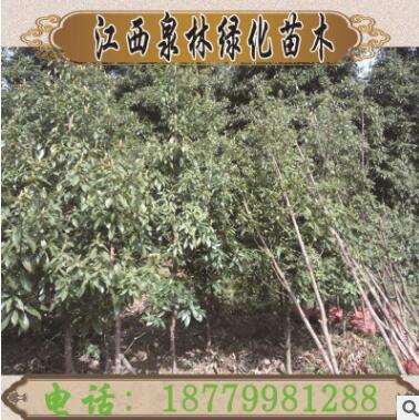 金丝楠木树苗