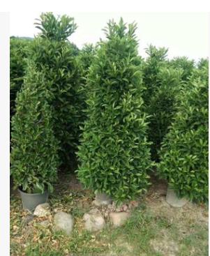 基地供应盆栽非洲茉莉柱高度150-180厘米绿篱工程苗