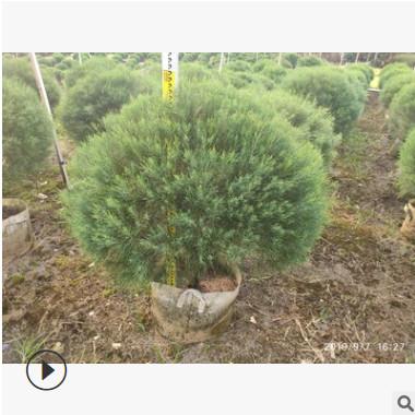 直销高度90-100厘米木麻黄 木麻黄球