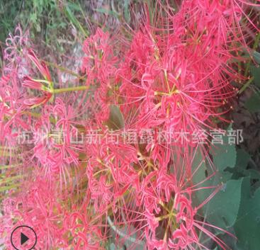 红花石蒜 葱兰 韭兰 绿化 水生植物 水生花卉 绿化木 常绿萱草