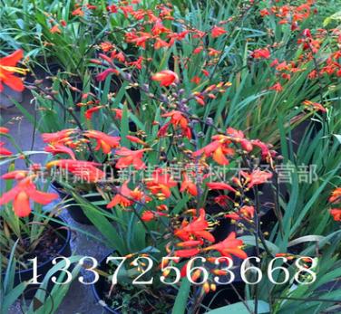 供应火星花 观赏草 宿根花卉 地被水生植物 量大从优出售观景花