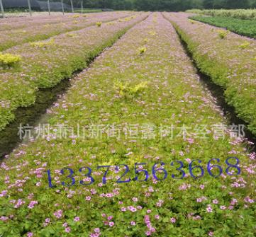 批发供应粉花酢浆草 醡浆草 品种齐全 量大从优 紫叶醡浆草
