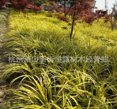 批发 金边石菖蒲 水生植物 金线石菖蒲 常绿彩叶植物