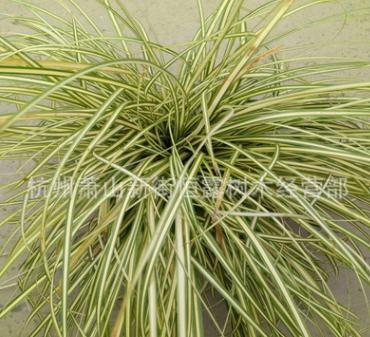 金叶苔草 萧山 基地直销 各种 水生植物 绿化工程