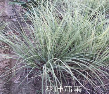 花叶芒 水生植物 基地直销 花叶芦苇 蒲苇 量大优惠