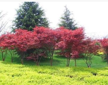 直销日本红枫小苗 嫁接小苗 日本红枫 保证品种质量价格优惠