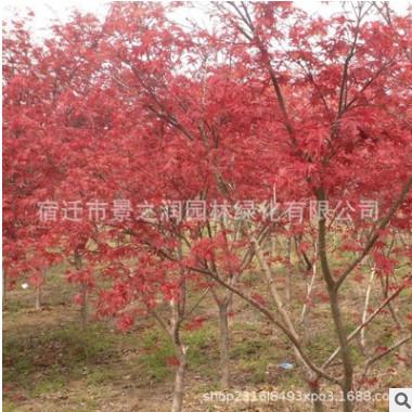 日本红枫树苗批发绿化苗木日本红枫精品盆景行道风景观叶植物