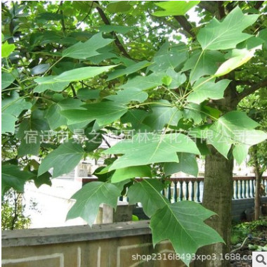 马褂木树苗批发工程绿化苗木速生鹅掌楸园林街道风景马褂木造型树