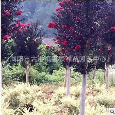 火箭红紫薇 各种规格 批发供应 价格优惠