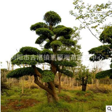精品榆树 造型榆树桩批发 规格齐全 湖南长沙基地直供