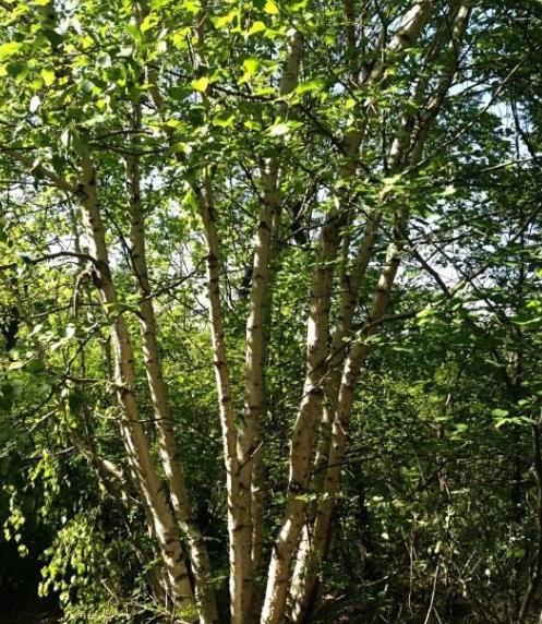 油松,侧柏,云杉,茶条槭,丛生白桦,檬古栎,黄刺玫,刺槐等。