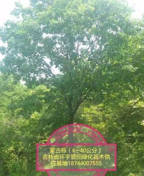 五角枫,蒙古栎,水曲柳,山槐,插条槭,暴马丁香,白桦