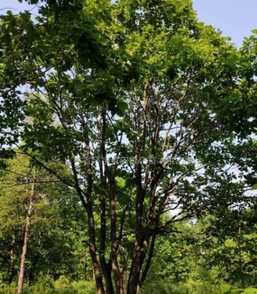 蒙古栎单株丛生大径*
