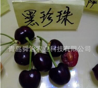山东矮化樱桃树苗新品种 当年挂果美早 黑珍珠大樱桃树苗苗木