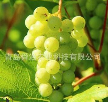 新品种日本晴王翠玉香印青提葡萄苗无籽葡萄树苗地栽南方北方种植