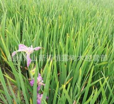 鸢尾 水生鸢尾蓝花鸢尾 观花植物 水生植物 净化水质 河道绿化
