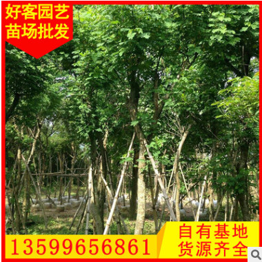 黄花槐批发 绿化苗木 盆栽地栽移植苗 大量供应φ5-15cm