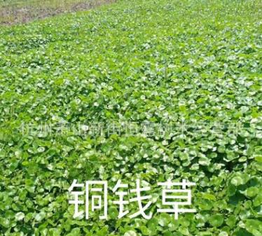 香菇草 ,铜钱草 大量批发防辐射 水生植物批发 基地直销