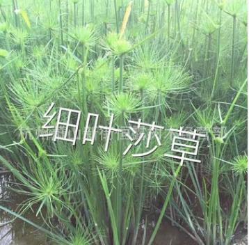 供应水生植物-细叶莎草,大量出售细叶莎草