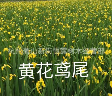 黄花鸢尾 黄菖蒲 旱伞草 水菖蒲 紫娇花 水生植物基地优质供应