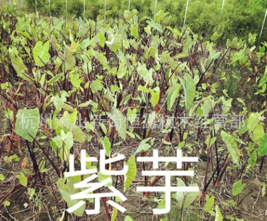 紫芋 黄菖蒲 水菖蒲 紫娇花 旱伞草 优质水生植物销售
