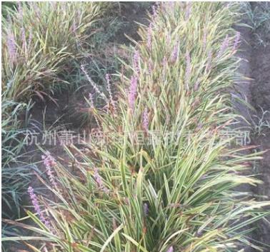 现货出售四季常青地被植物:金边麦冬、金边阔叶麦冬