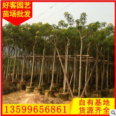 黄花槐价格 福建基地 大量供应 规格齐全φ5-15cm