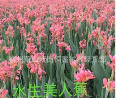 美人蕉 红花黄花 水生粉花美人蕉 水生植物 大量供应 品种齐全
