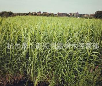 水生植物 花叶芦竹 芦苇 品种齐全 鸢尾等 水培植物