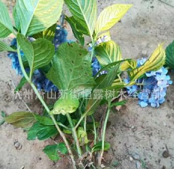 盆栽植物八仙绣球 无尽夏 八仙花 公园庭院观赏 量大从优