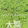 大瓢 水生类植物 杭州基地优质供应