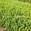 绿化工程 小叶黄杨 黄杨球 小叶黄杨球 瓜子黄杨球 地被绿化