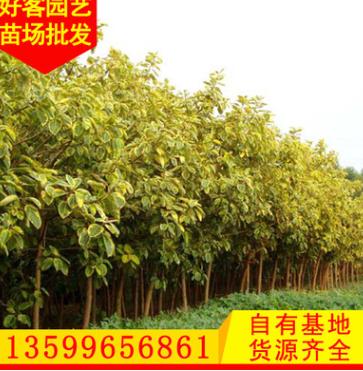 富贵榕批发 漳州种植基地 园林绿化风景树 地苗袋苗移植苗