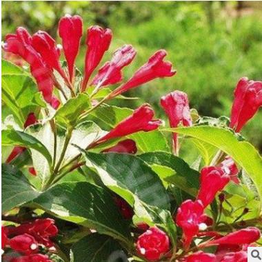 基地直销红王子锦带苗 庭院种植红王子锦带小苗 量大优惠规格齐全