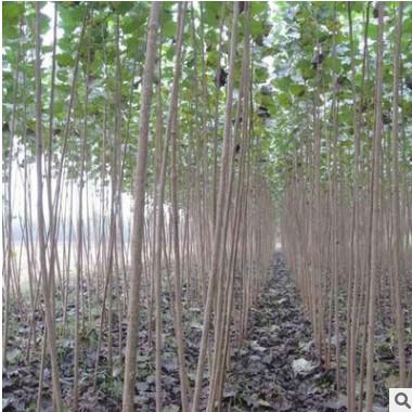 出售速生杨树树苗 各种规格107 108杨树 行道绿红叶杨树苗.