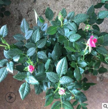 基地直销 玫瑰盆栽花卉 观花植物室内小盆阳台微型迷你玫瑰带花苞