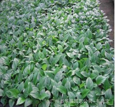 低价供应室内观叶植物 玛丽安万年青苗 广州园林花卉种苗批发